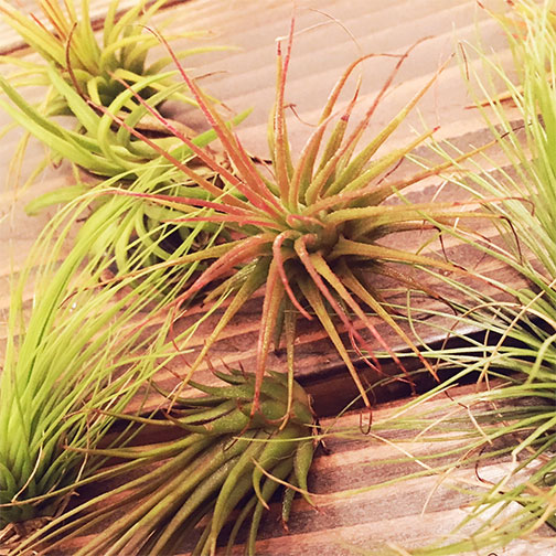 Airplant3